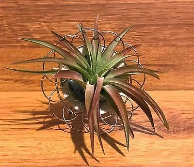 Tilla Critters Plated One of a Kind Airplant Creations by Chili Fiesta Handiwo..