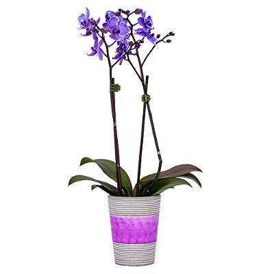 DecoBlooms Living Purple Orchid Plant - 3 inch Blooms - Fresh Flowering Home D
