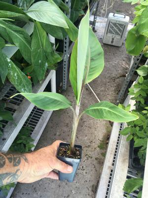 Pisang Keling Banana Plant - AKA Misi Luki Live Banana Plant