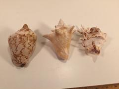 (3) Shells Of The Conch Variety 125-130mm