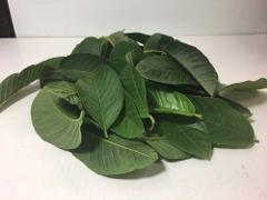 50 Guava Leaves Organic / 50 Hojas De Guayaba Orgánica From Ca...