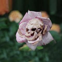 50 Rare Death Rose Seeds Mysterious Plant Snapdragon Garden Fl...