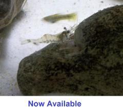 4 Live Ghost Glass Cleaner Shrimp Invertebrate