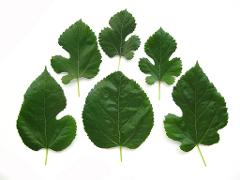 1/2 Pound Fresh Green Mulberry Leaves Shrimp Turtle Food