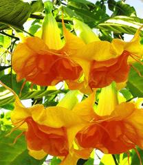 10 Double Bright Yellow Orange Angel Trumpet Seeds Flowers See...
